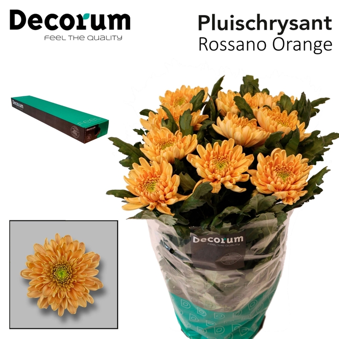 <h4>Chrysanthemum PL 'Rossano Orange'</h4>