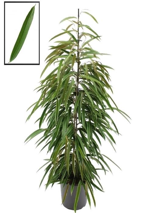 <h4>Ficus binn. Alii</h4>