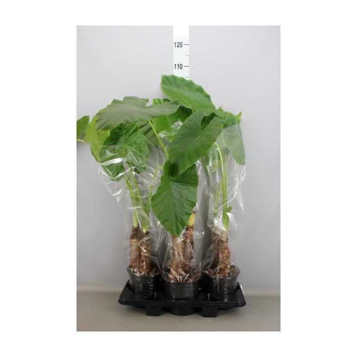 <h4>Alocasia macrorrhiza</h4>