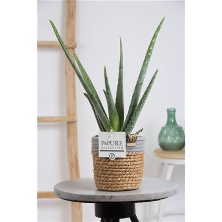 <h4>Aloe Vera Basket Iii</h4>