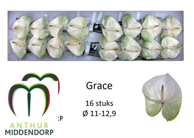 <h4>Anthurium Grace</h4>