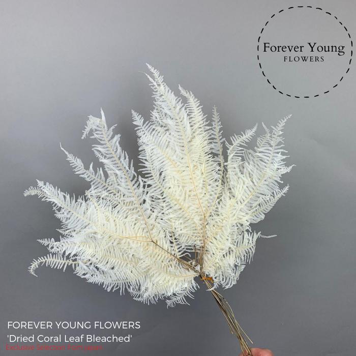 <h4>Dried Coral Leaf Bleached</h4>