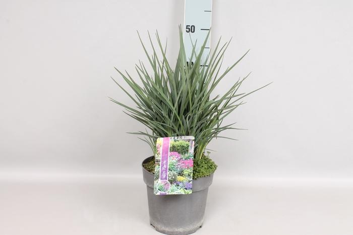 vaste planten 19 cm  Dianella Coolvista