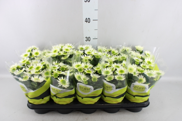 <h4>Chrysanthemum  'Splash Meadow'</h4>