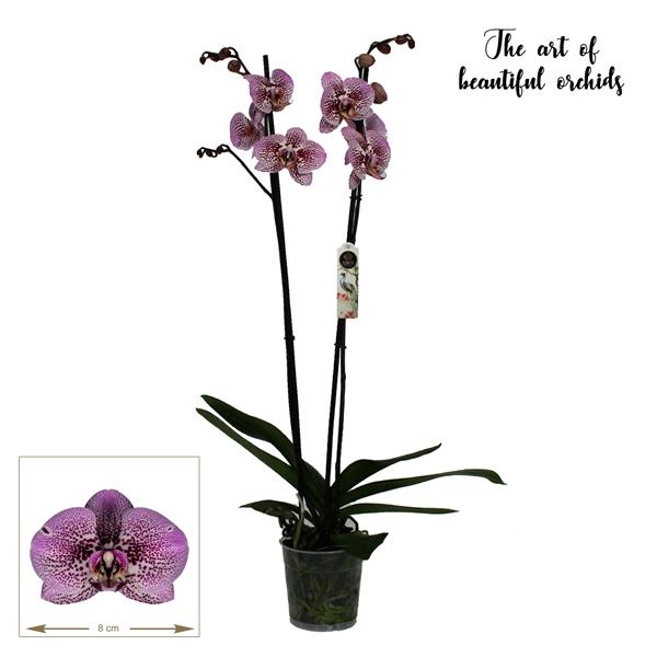 <h4>Phalaenopsis Andorra</h4>
