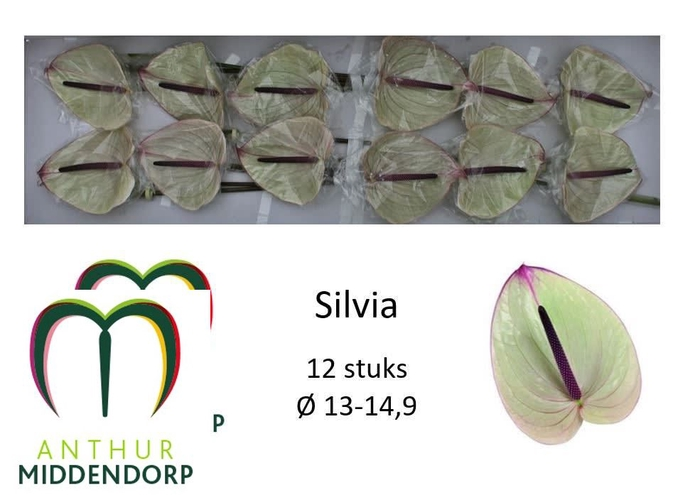 <h4>ANTH A SILVIA</h4>