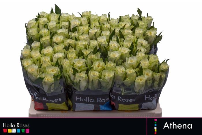 <h4>Rosa grootbloemig Athena</h4>