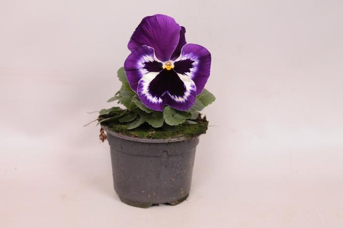 Viola wittrockiana F1 Violet & White