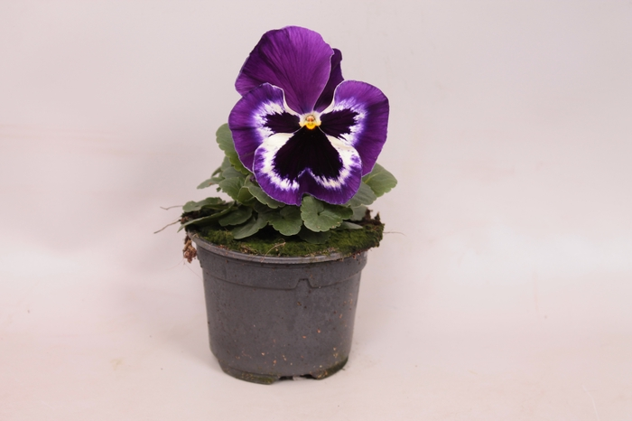<h4>Viola wittrockiana F1 Violet & White</h4>