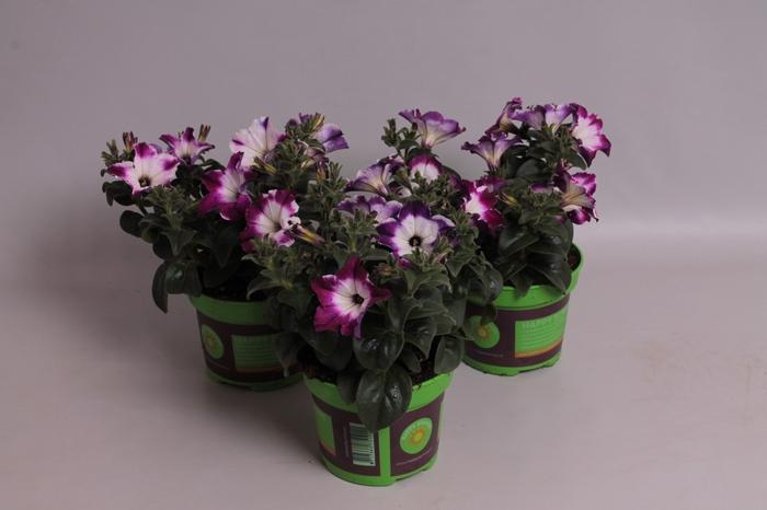 <h4>Petunia Saguna Twirl Purple</h4>