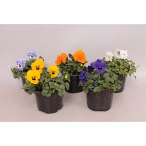 viola cornuta F1 diverse kleuren