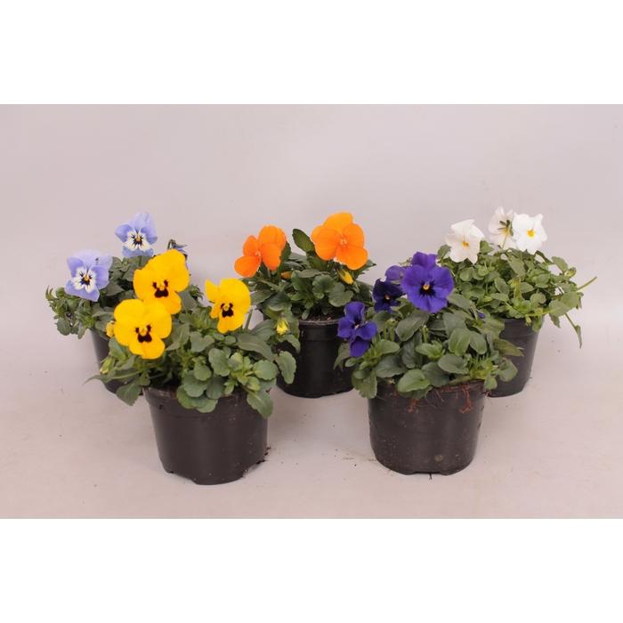 <h4>viola cornuta Sixpack F1 diverse kleuren</h4>
