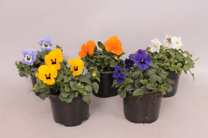 <h4>viola cornuta Sixpack F1 diverse kleuren beperkt op aanvraag</h4>