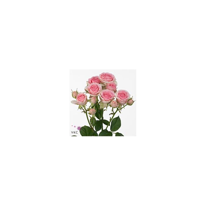 <h4>Rosa sp. Dinara</h4>