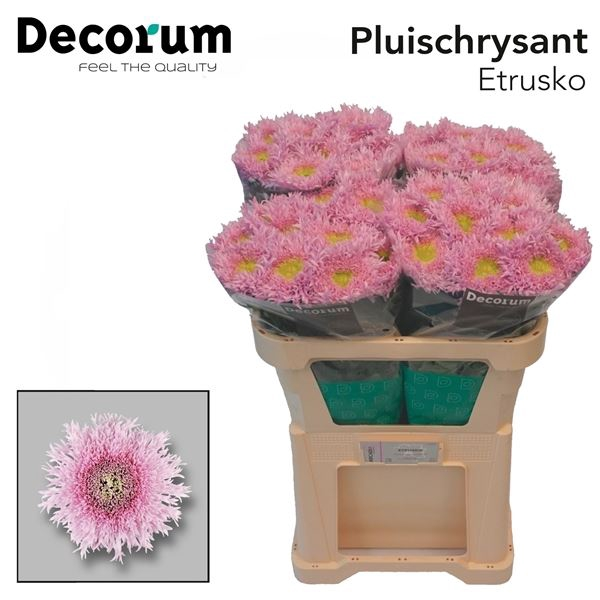 <h4>Chrysanthemum PL 'Etrusko'</h4>