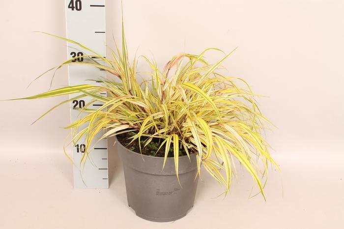 <h4>vaste planten 19 cm  Hakonechloa m. Aureola</h4>
