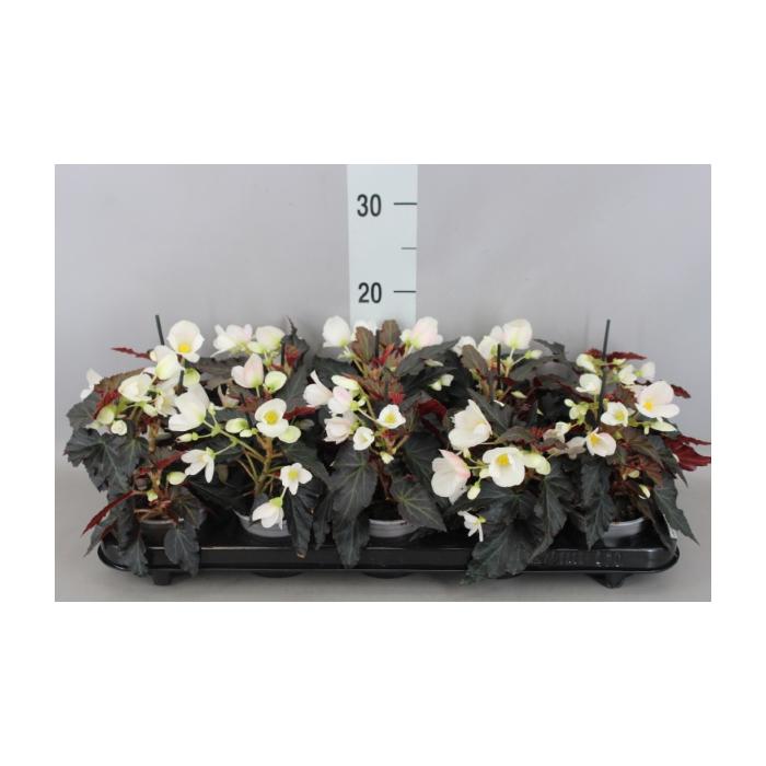 <h4>Begonia  'I Conia Upright White'</h4>