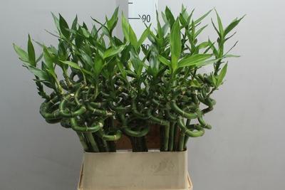 <h4>Bamboo espiral</h4>