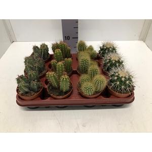 Cactus mix 8,5Ø 5cm C8R