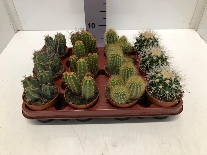 <h4>Cactus mix 8,5Ø 5cm C8R</h4>