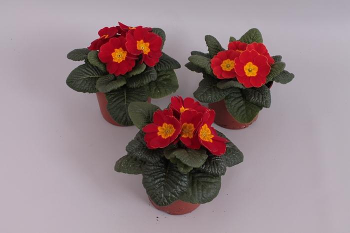 <h4>Primula acaulis Rood</h4>