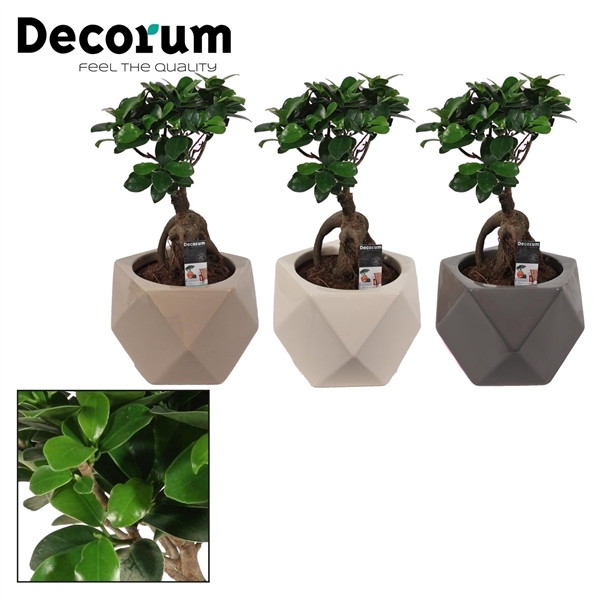 <h4>Ficus Microcarpa Ginseng geënt 12 cm in Nevada mix (Decorum)</h4>