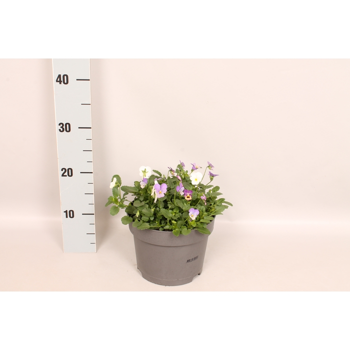 <h4>Viola cornuta 19 cm mix Blue, Pink, White</h4>