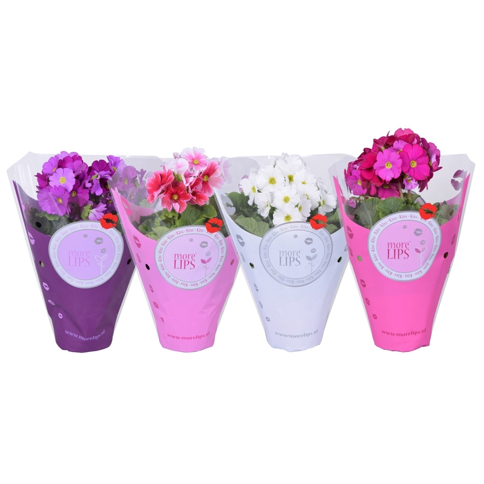 <h4>Primula obconica Touch Me gemengd</h4>