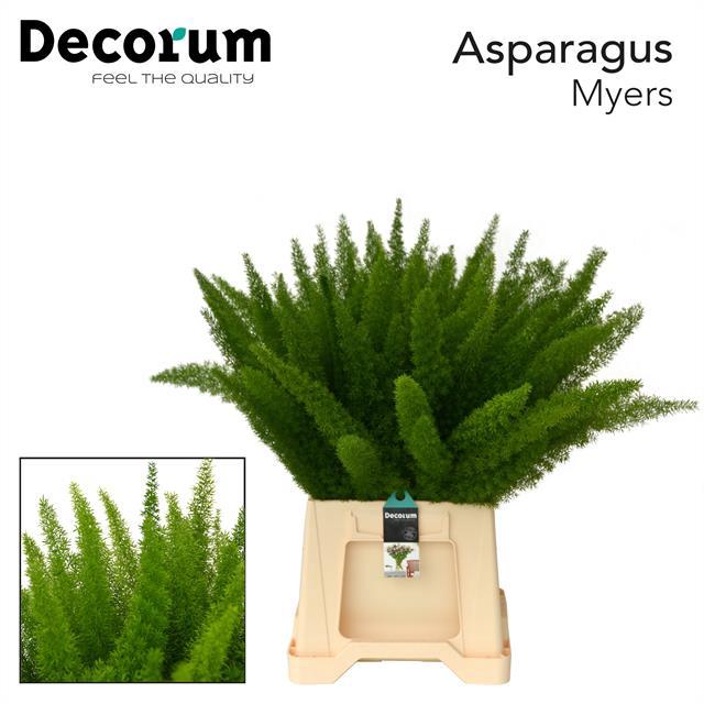 <h4>ASPARAGUS myers 40cm (50) dc</h4>