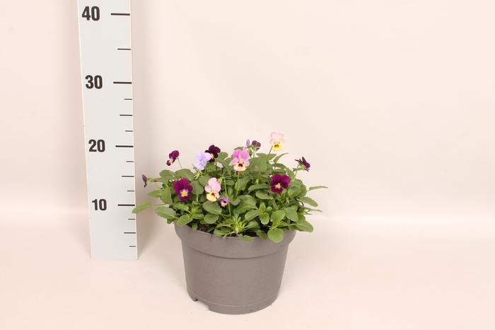 <h4>Viola cornuta 19 cm mix Blue, Purple, Pink</h4>
