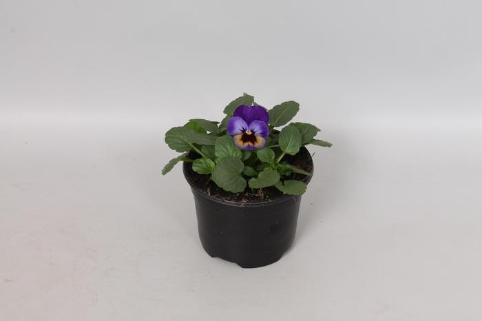 <h4>Viola cornuta F1 Violet Blue</h4>