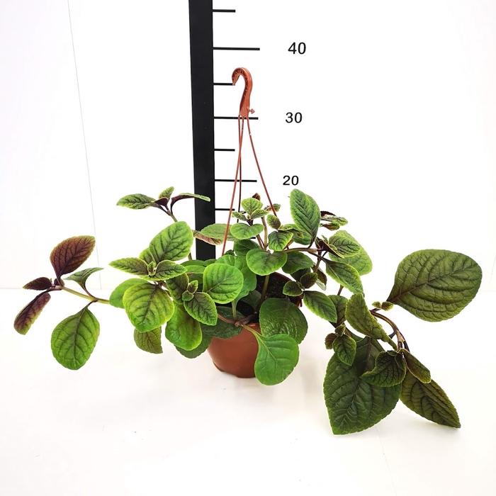 <h4>Plectranthus, planta de dolar</h4>