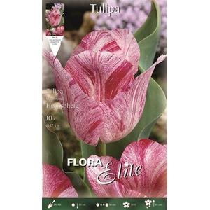 Z Tulipa Hemisphere