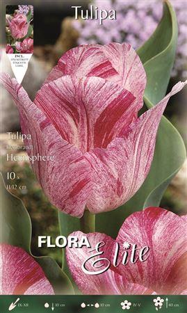 <h4>Z Tulipa Hemisphere</h4>