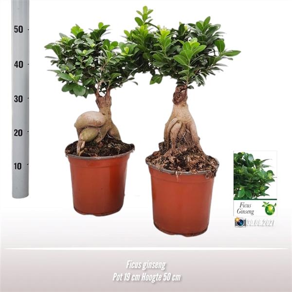 <h4>Ficus ginseng</h4>