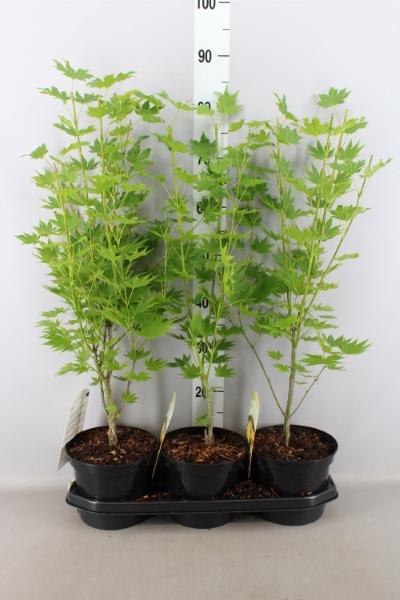 <h4>Acer shirasawanum 'Jordan'</h4>