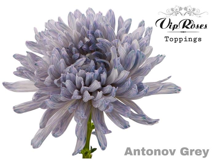 CHR G ANTONOV GREY