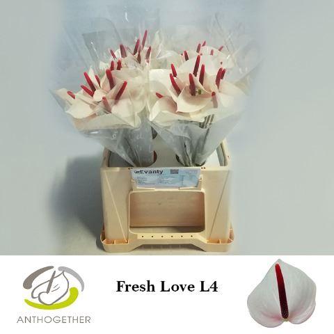 <h4>Anthurium andr. 'Fresh Love'</h4>