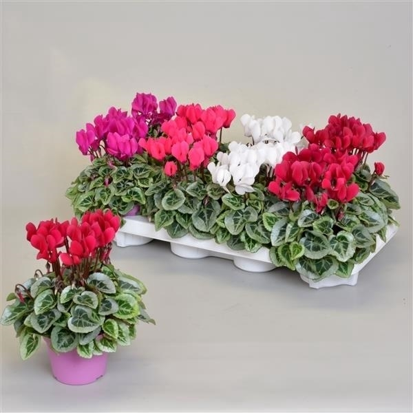 <h4>Cyclamen SS Picasso Mix</h4>