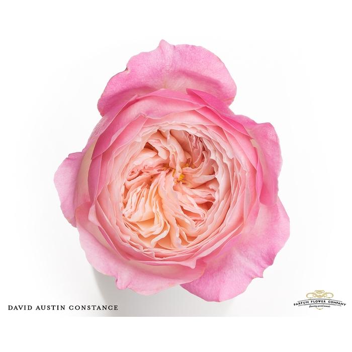 <h4>Rosa David Austin Constance</h4>