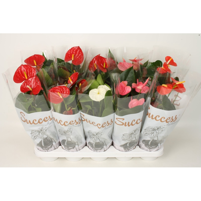 <h4>Anthurium 4 kleuren mix - Success</h4>