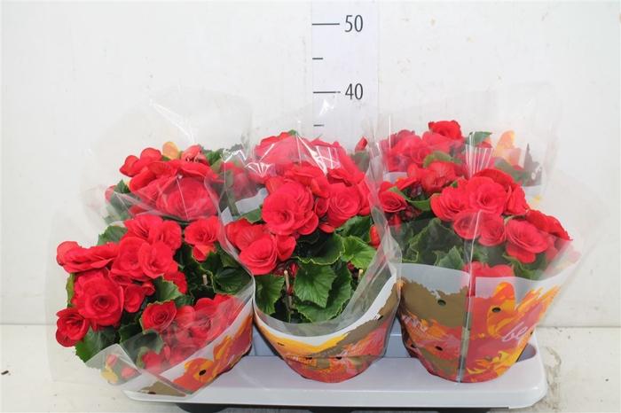 <h4>Begonia Du Baladin</h4>