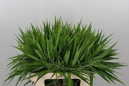 <h4>Carex Sparkler Green</h4>