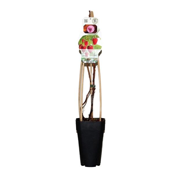 <h4>Rubus idaeus aroma queen</h4>