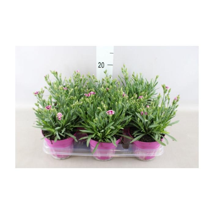 <h4>Dianthus  'Pink Kisses'</h4>