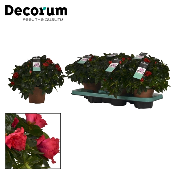 <h4>Azalea 14 cm Jimmy Decorum</h4>