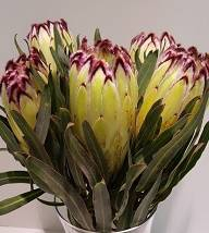 <h4>Protea Lime Light</h4>