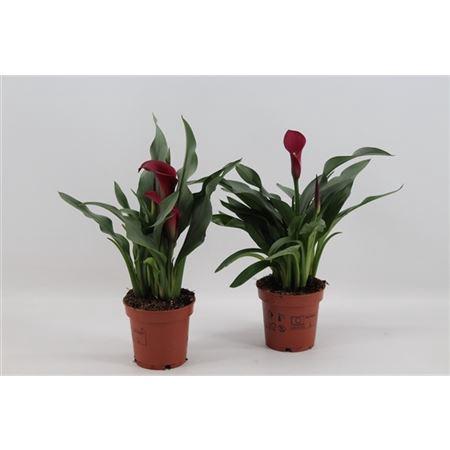 <h4>Zant Callafornia 2+ (red)</h4>