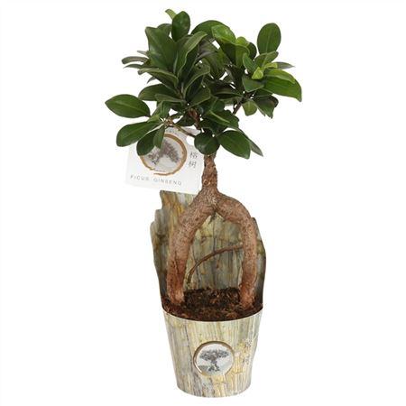 <h4>Ficus Mi Ginseng A5091506 Potcover Rock</h4>