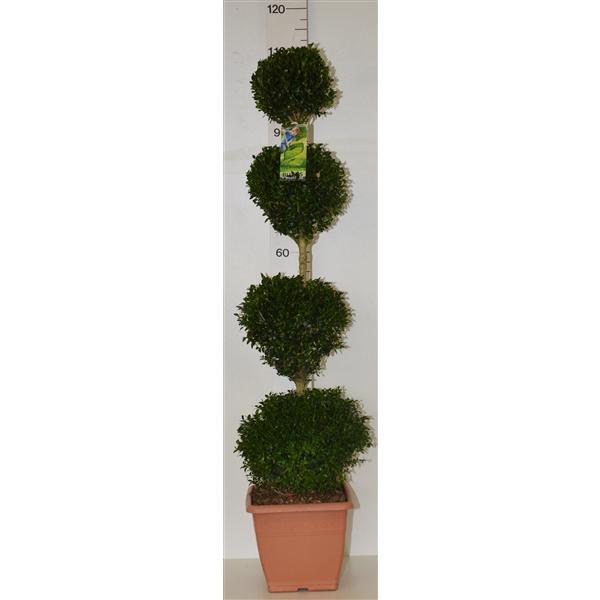 <h4>Buxus sempervirens quattrobol</h4>